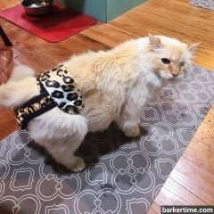 persian cat diaper