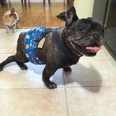 french bulldog belly band diaper