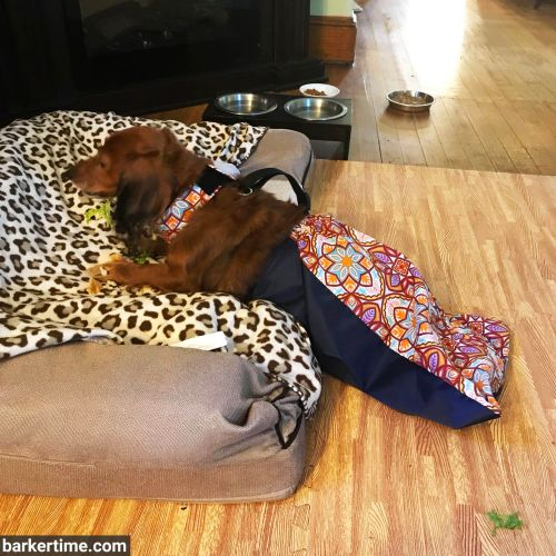 dachshund dog drag bag paralyzed pet