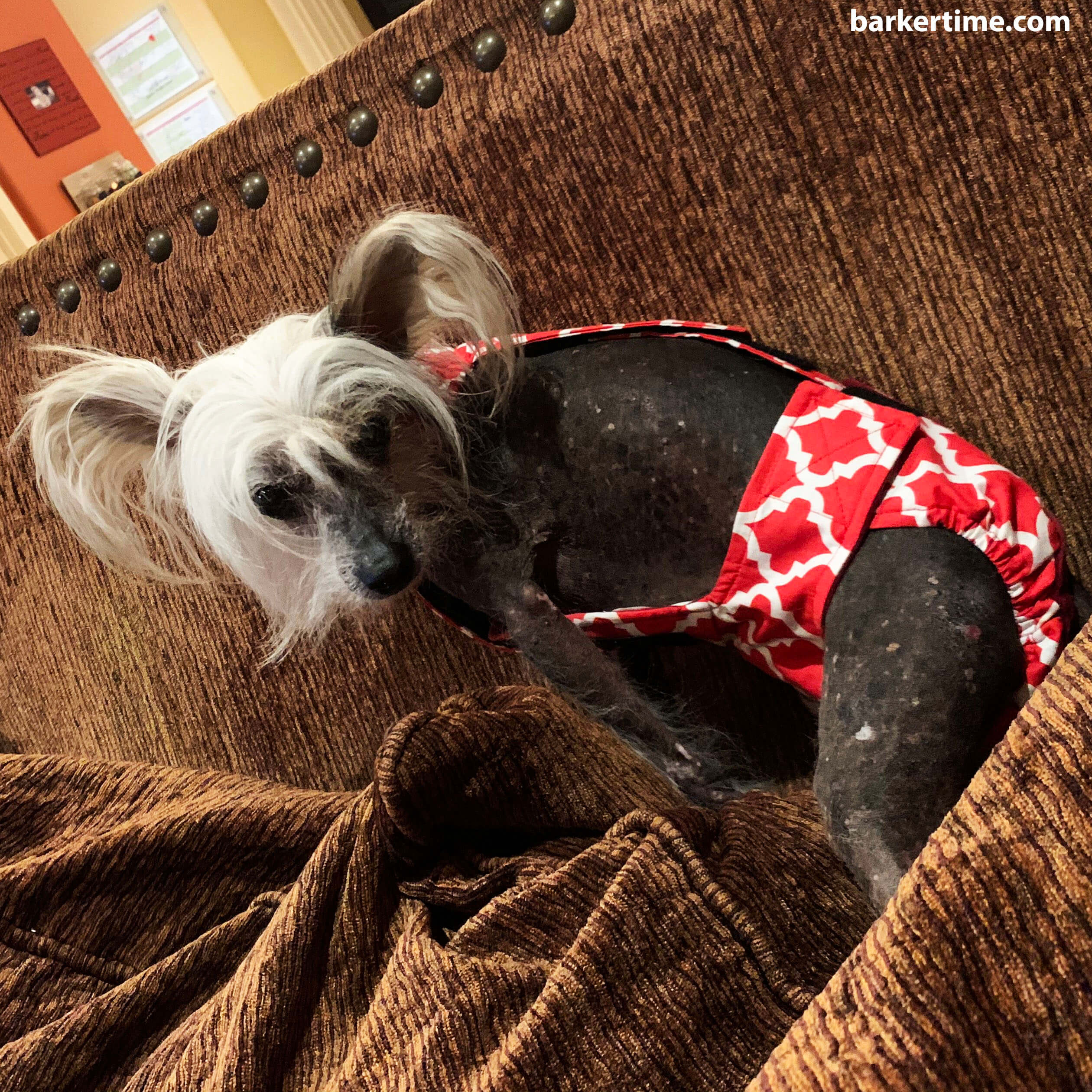 chinese crested dog diaper