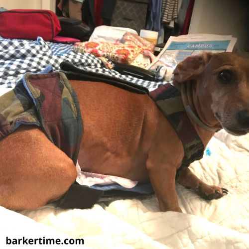 dachshund dog diaper