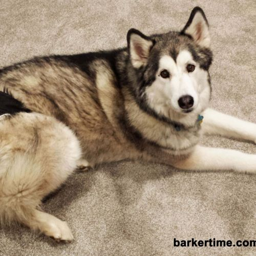 malamute dog diaper