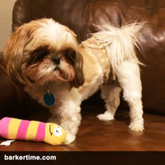 shih tzu dog diaper
