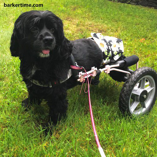 cocker spaniel dog diapers for paralyzed dog