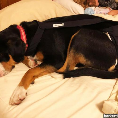 greater swiss mountain large breed dog diaper