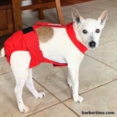 jack russell terrier dog diaper