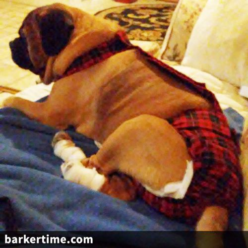 puggle dog diaper