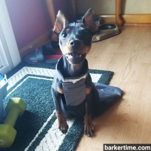 paralyzed miniature pinscher minpin drag bag