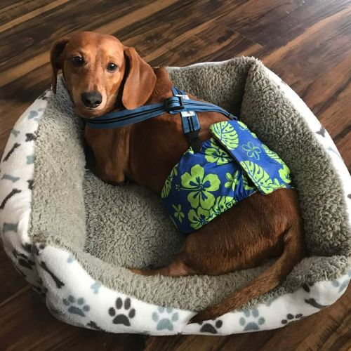 dachshund dog belly band and suspenders