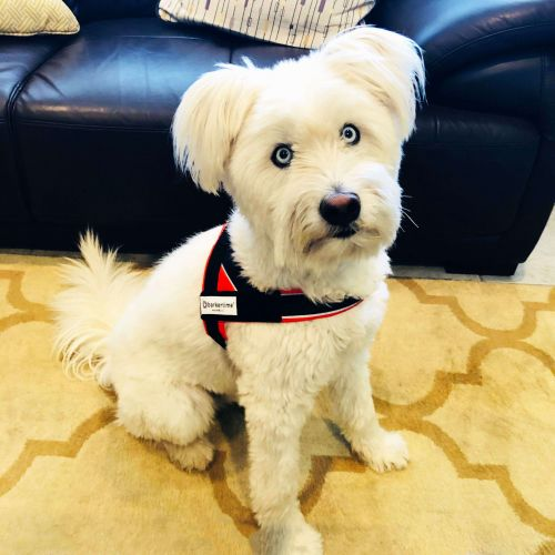 toby - dog harness 2