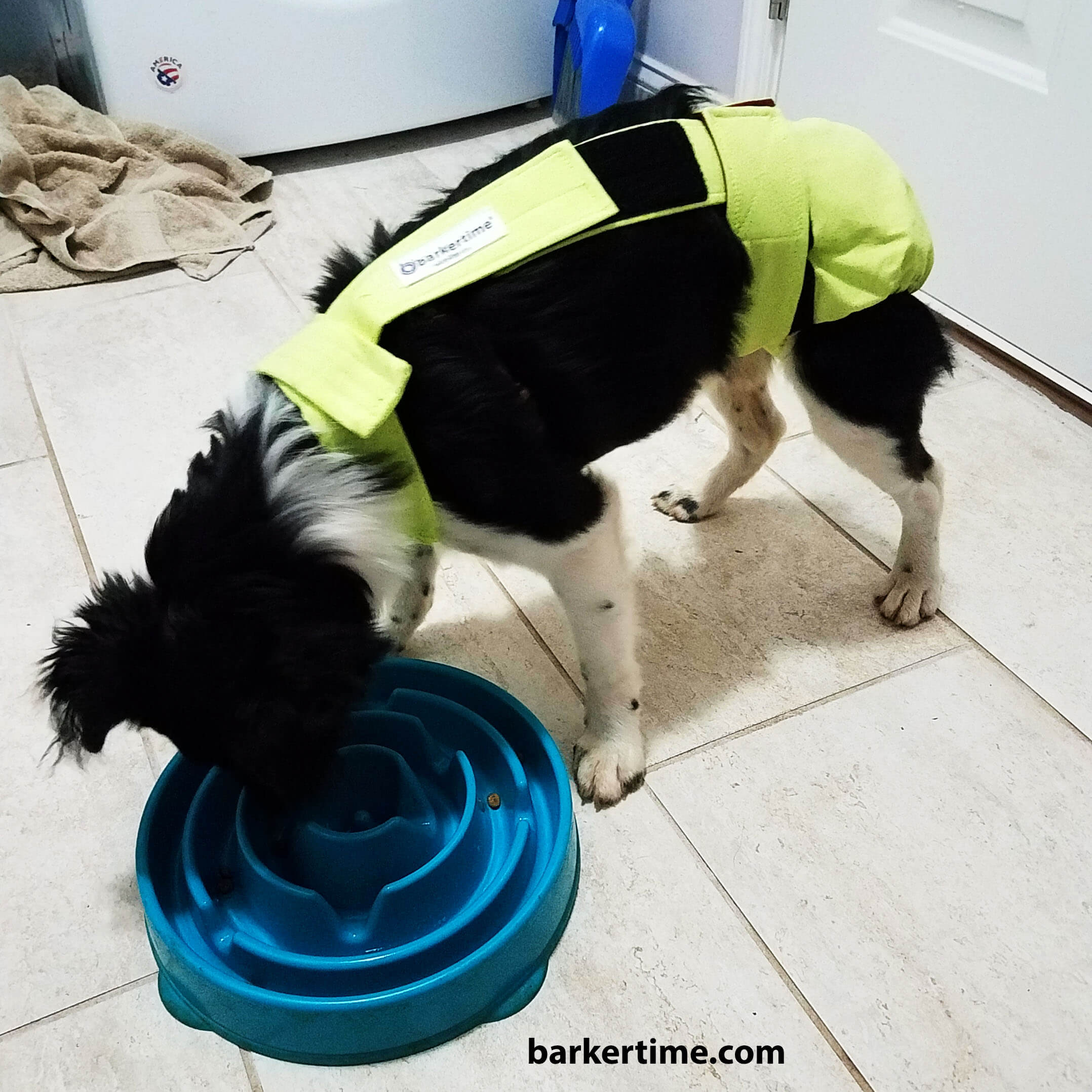 border collie dog diaper