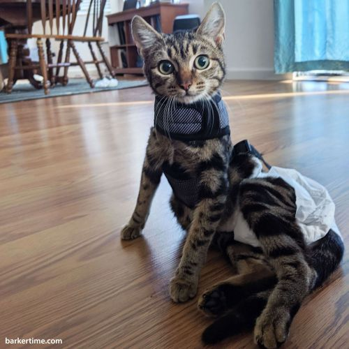 bengal cat diaper