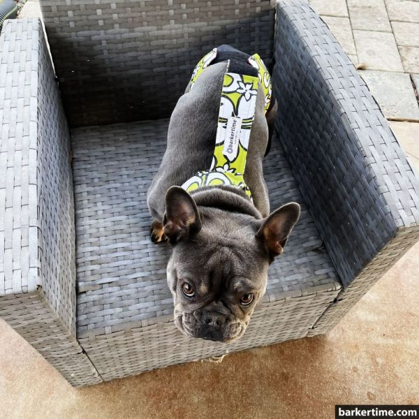 french bulldog dog diaper