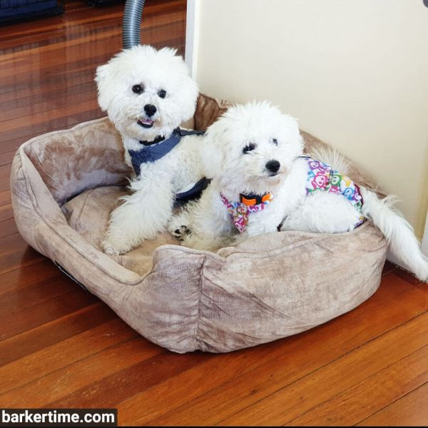 bichon frise dog diaper