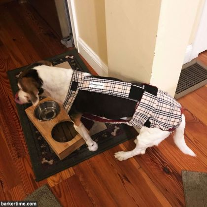 beagle dog diaper